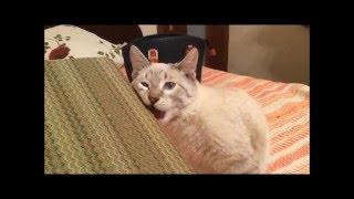 Благородный кот в ДАР