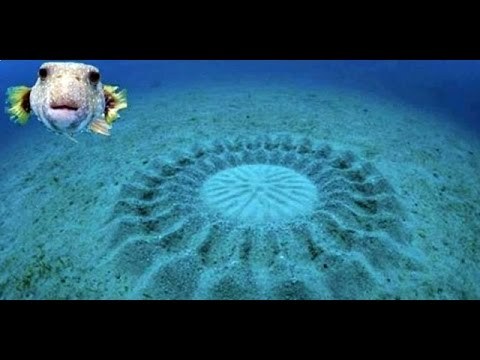 Puffer Fish carves crop circles in Amami Oshima