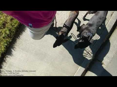 20170623 - Foster & Train - Katty - Heeling with another Dog