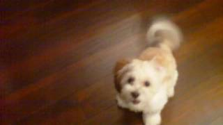 Cooper The Shih-poo And His First Trick
