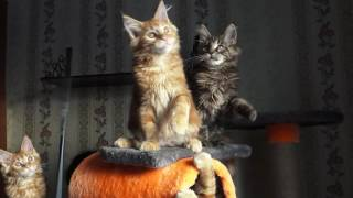 ЛИРИКУМ Аян Пивас Мордович 3 месяца , крупный  солнечный котик мейн-кун