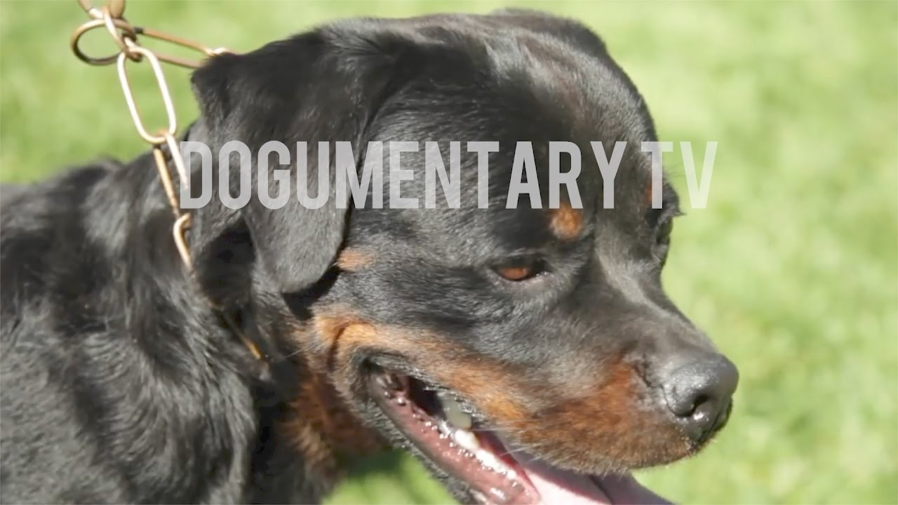 The History Of The Rottweiler Youtube