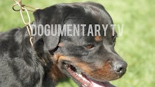 THE HISTORY OF THE ROTTWEILER