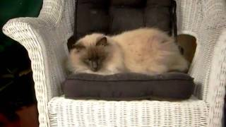 Skylark The Cat Resting In The Rocking Chair