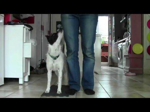 Positions de marche au pied avec les plateformes - dog dancing et proprioception