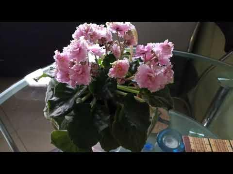 Сорт фиалки ЛЕ Дикая орхидея