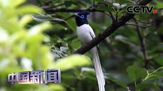 [中国新闻] 安徽绩溪:成群寿带鸟返回绩溪山林栖息地 | CCTV中文国际