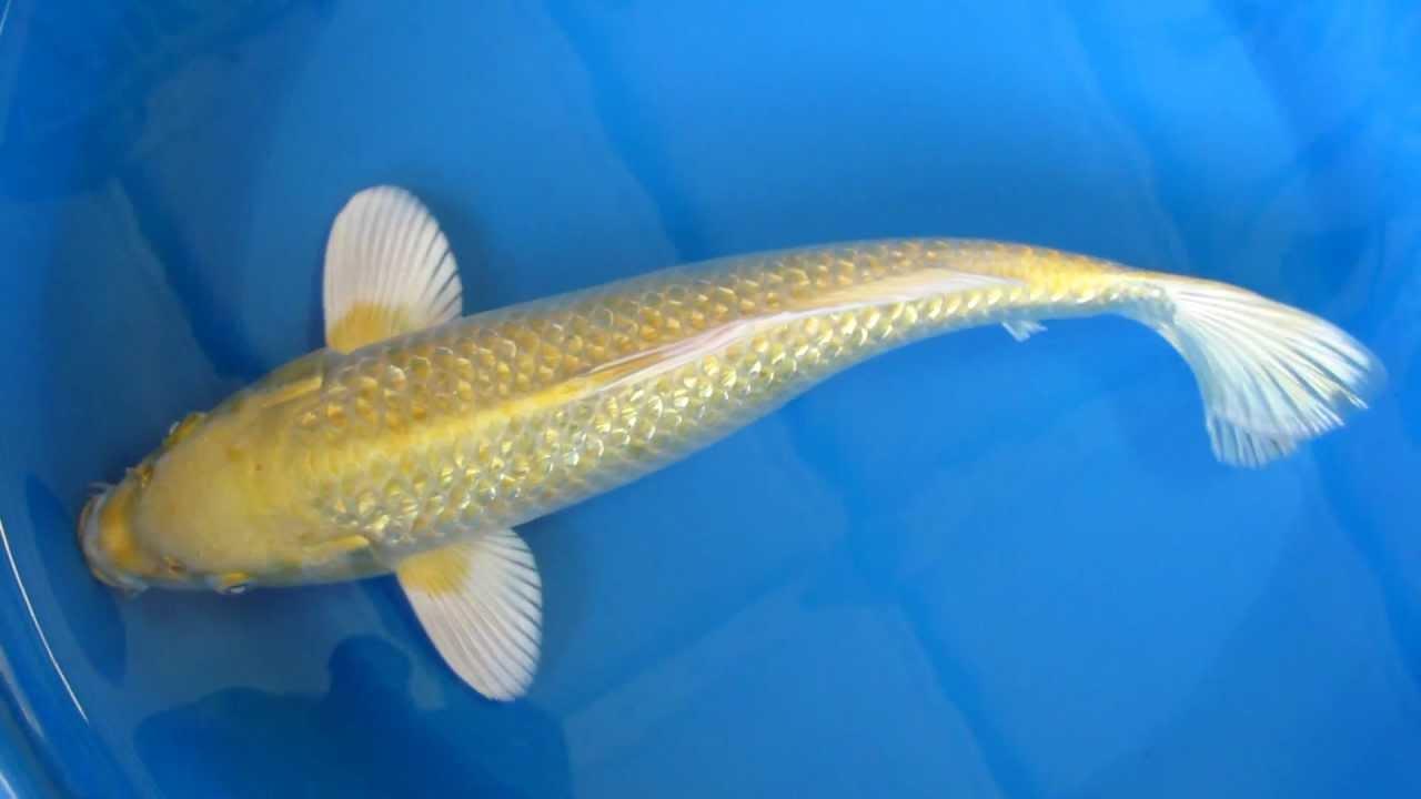 14 ginrin yamabuki ogon japanese koi fish youtube for Koi yamabuki