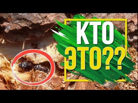 Кто ест ваш деревянный дом 🔥 Древоточец  🐛 Как Избавиться от Вредителя Дерева