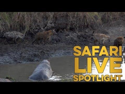 Hyenas on the hunt