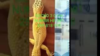 Download Video Tokek GECKO terbaru  2019 MP3 3GP MP4