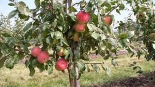 22.Посадка яблони.Как посадить яблоню.(В этом видео я расскажу как правильно посадить яблоню. Очень важно посадить яблоню правильно, чтобы дерево..., 2015-12-11T19:00:54.000Z)