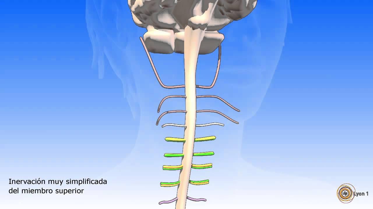 La médula espinal y los nervios raquídeos - YouTube