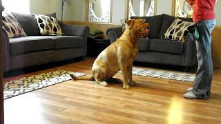 Dogue De Bordeaux Tricks With Clicker Training