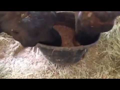 Cow eating loose minerals
