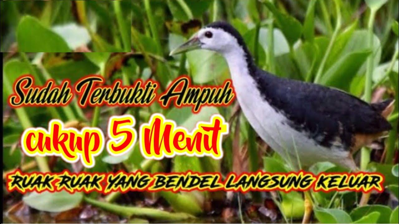Download Suara Pikat Burung Wak Wak Betina Paling Ampuh Yang Bandel Pasti'Kluar Bisa Dibuktikan Sendiri