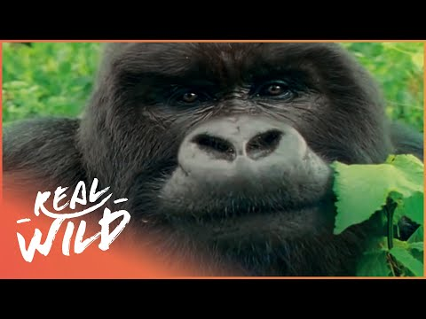 Mountain Gorilla: A Shattered Kingdom [Full Documentary] | W