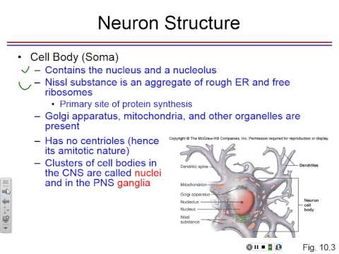 Lecture 11  Neurons Glial Cells-Tue, Oct 14, 08 32 AM