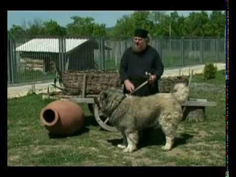 kavkasiuri nagazi (Caucasian sheep-dog) kavkaskaia avcharka gruzinskaia avcharka