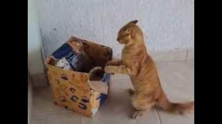 gatos brigando por caixa !!!!!!!!!!!