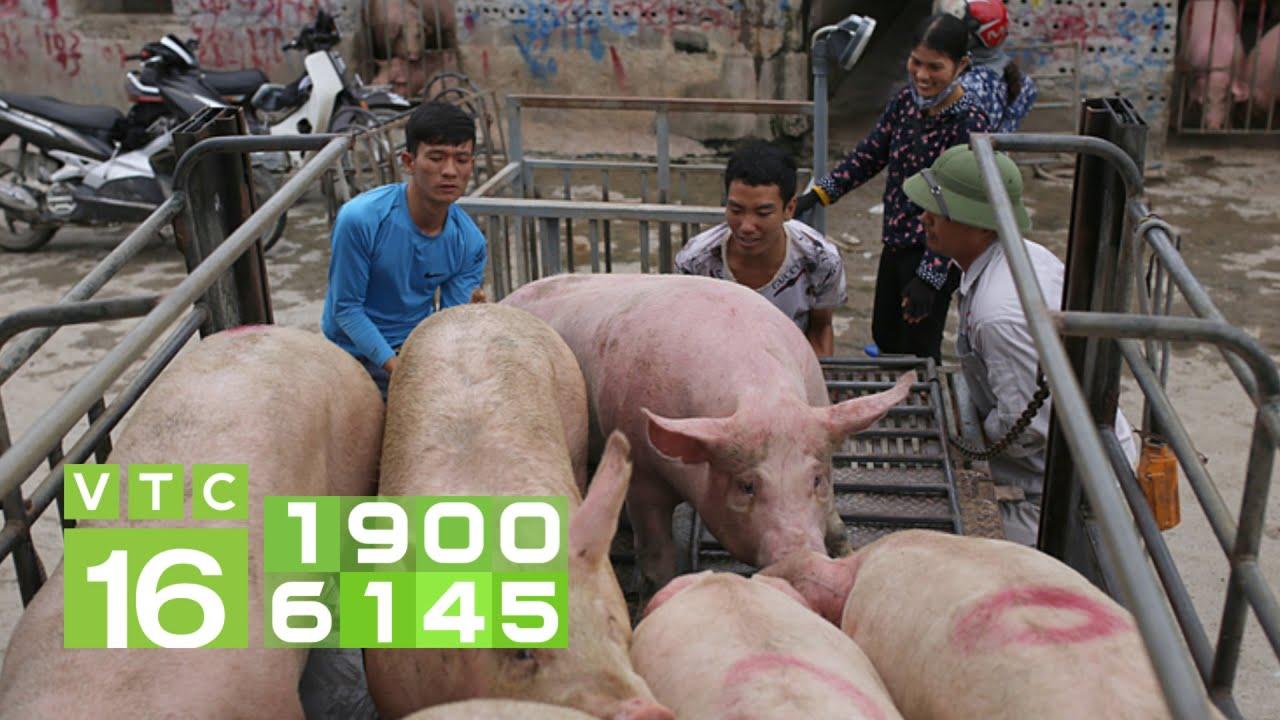 Nhập lợn sống từ Thái Lan, giá lợn hơi bắt đầu giảm mạnh | VTC16