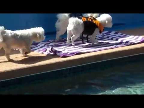 Bichon Frise hd video   FunnyDog.TV