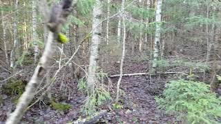 Работа финских гончих, сгоненый заяц