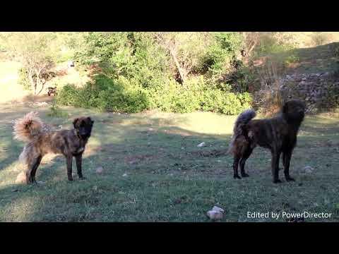 Rare Bakarwal Dogs