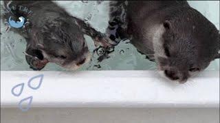 カワウソの赤ちゃん、衝撃的なプールデビュー!? Otter baby started to practice swimming!