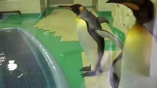 王子動物園 皇帝ペンギン.