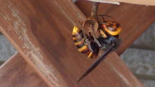 2.3日前から黒っぽいハチが玄関の付近をうろつき、玄関に置いてある...