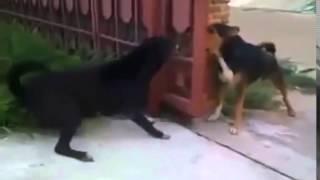 Очень злые собаки!