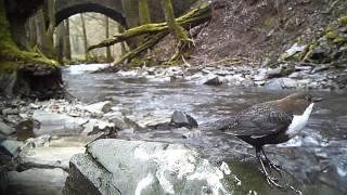 Wasseramsel - Gesang. Eifel / Ellerbachtal