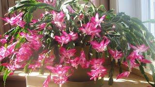 Dica Maravilhosa para sua Flor de Maio dar muitas Flores