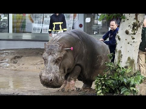 Hippo roams the streets of Georgia capital after floods, Tbilisi