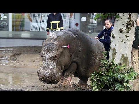 Hippo roams the streets of Georgia capital after floods, Tbilisi