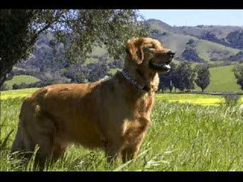 Golden Retrievers - Benefits of Training