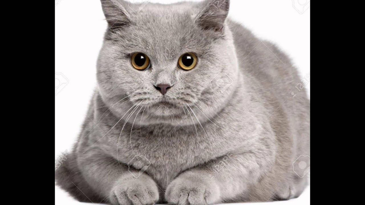 Продажа британских котят в москве из питомника sunray: вы можете купить котенка британскую короткошерстную miriel bel sunray черного золотого. Продается британская кошка bri ns 25; возраст: 1 месяц 21 день; порода: британская короткошерстная; окрас: черный серебристый тикированный.