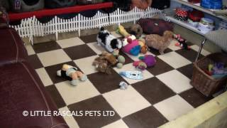 Little Rascals Uk Breeders New Litter Of Shih Tzu Pups - Puppies For Sale UK