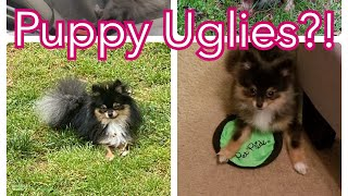 Puppy Uglies: What are they? When Will My Pom's Hair Grow?