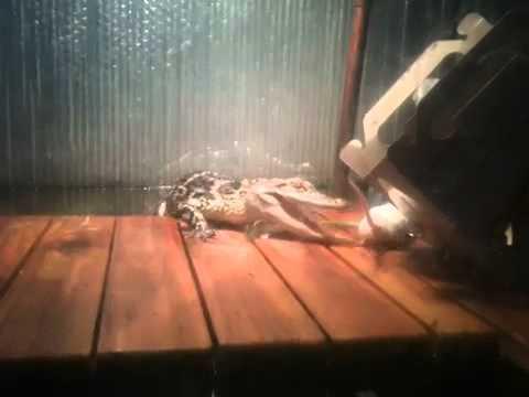 V Mouse Eating Scene Alligator eating mouse...