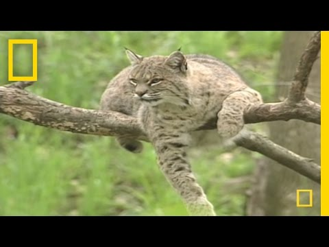 Bring on the Bobcats  | National Geographic