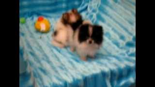 Tiny Teacup Pomeranian Puppies By Staryorkie.com From Reseda Los Angeles Ca