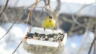 Итак, о птичках. Чижи (семейство вьюрковые). Siskins (Fringillidae) - eng. Bramblings. Nikon D5100