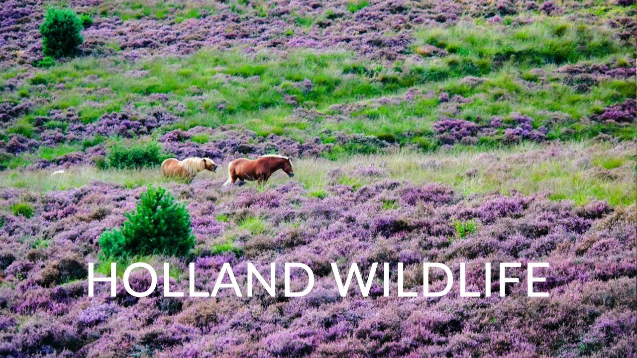 Holland Wildlife Movie - Best nature and wildlife of the Netherlands