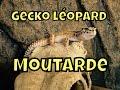 Gecko léopard : présentation de moutarde