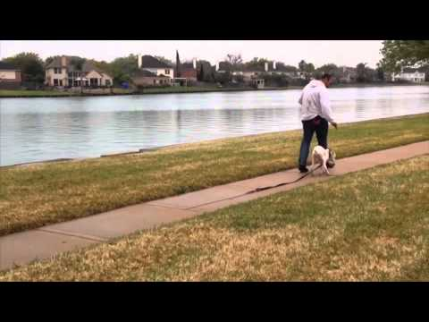 How to teach a puppy to walk off leash