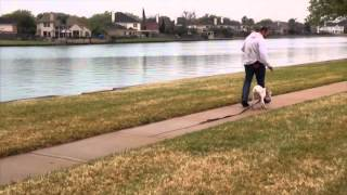 Teaching A Puppy To Walk Off Leash. 5 Month Old Boxer Puppy Learns To Listen!