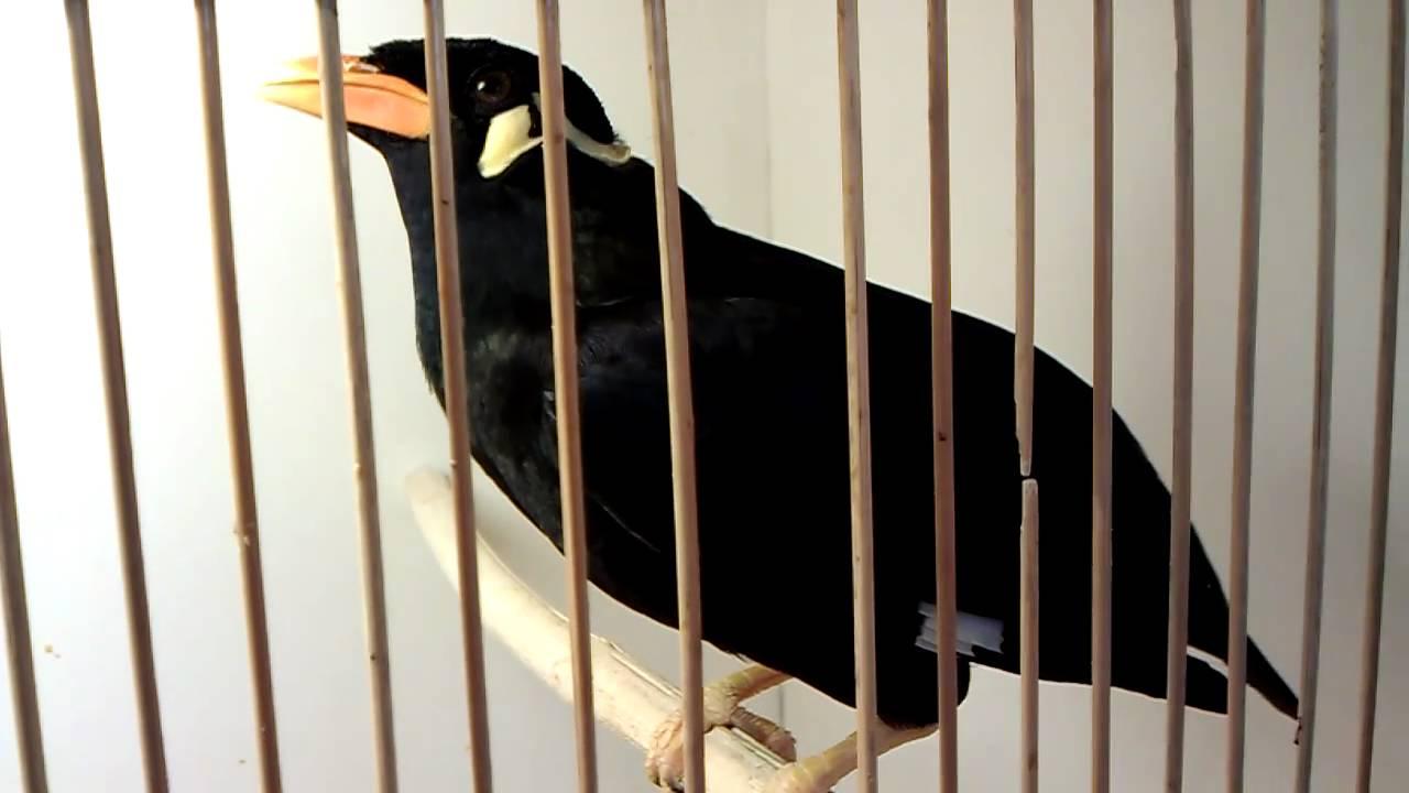 Скачать видео про птицу священная майна фото 93-625