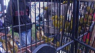 Video GT-HB #3: Harga Burung (Bahan) Di Pasar Wage Pedan Klaten. Wow, Di Kampoeng Harganya Edan download MP3, 3GP, MP4, WEBM, AVI, FLV Oktober 2017